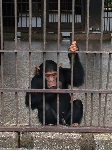 Eazy, the newest chimp at Ngamba