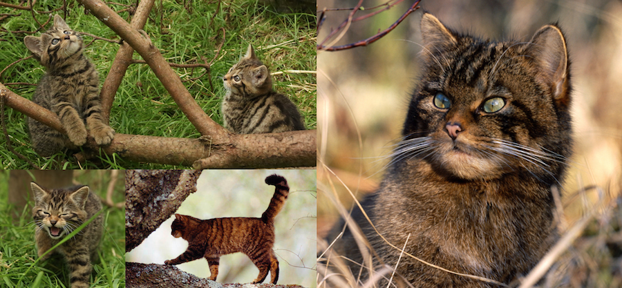 Conservation Breeding Scottish Wildcats To Reintroduce Into The Wild